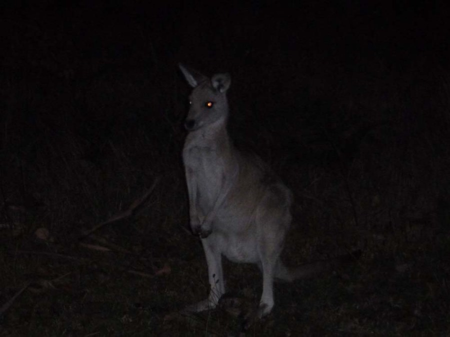 AUSTRALIA - Kangaroo in camp in the Snowy Mountains