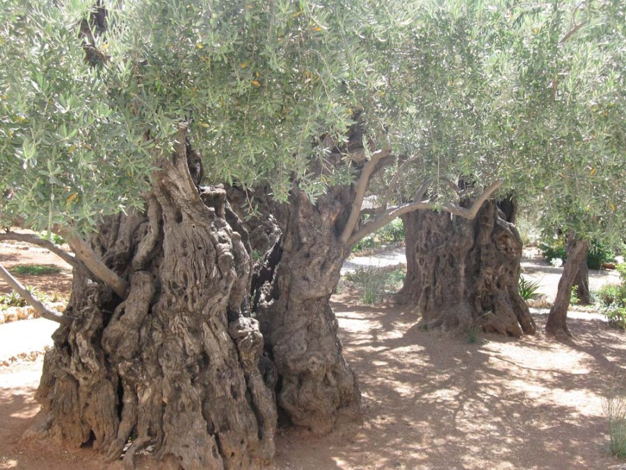 ISRAEL - Ancient olives in the Garden of Gethsemane on the Mount of Olives