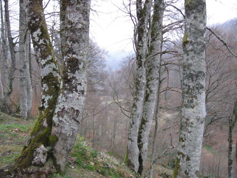 SPAIN - Spooky forest at Roncesvalles in the Pyrenees