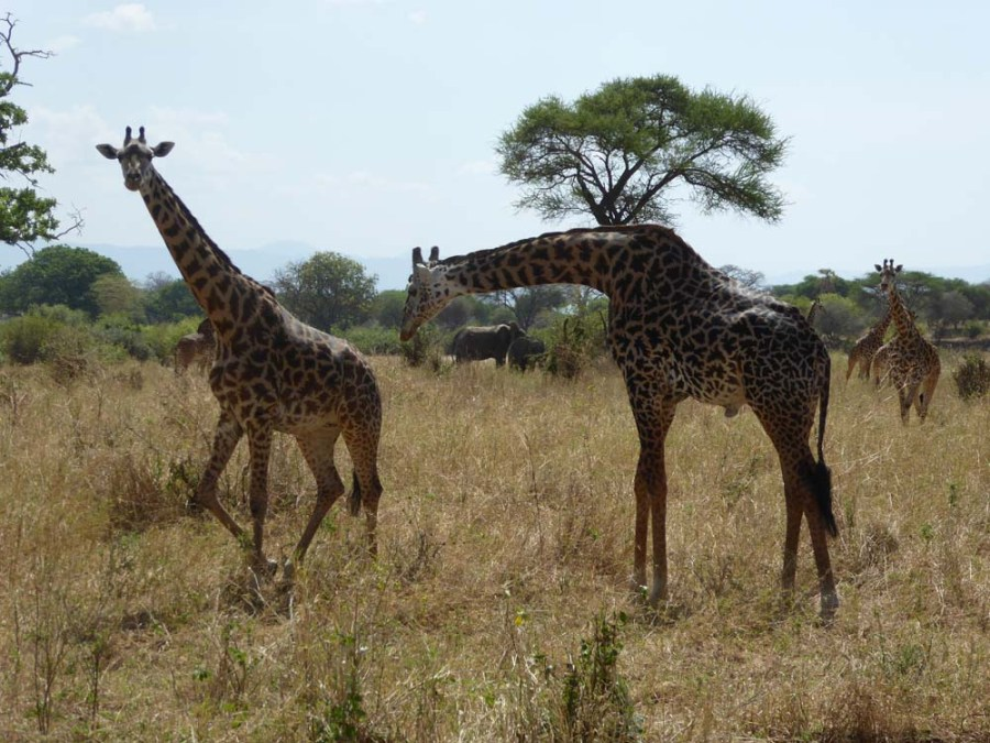 TANZANIA - Giraffes and Elephants