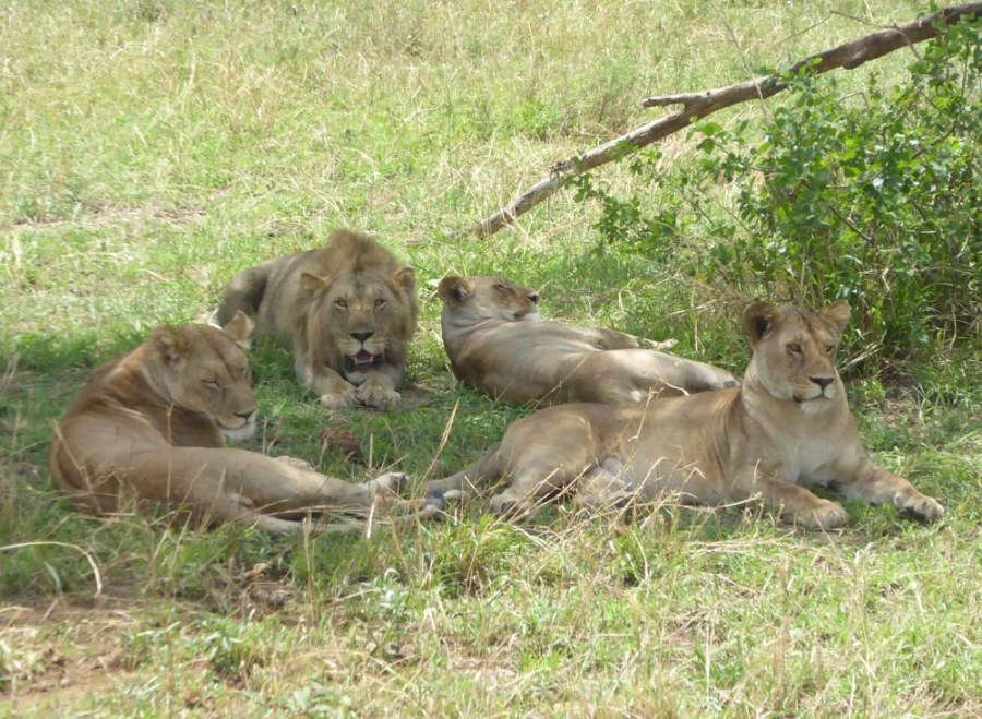 TANZANIA - Lions on the Serengeti